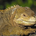 Galapagos Land Iguana Isabella Island by Pete Oxford