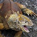 Galapagos Land Iguana by Jason O Watson