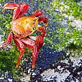 Galapagos Sally Lightfoot Crab by Allan Morrison