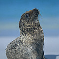Galapagos Sea Lion by Chris Scroggins
