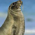 Galapagos Sea Lion Coral Beach by Tui De Roy