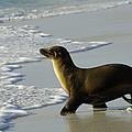 Galapagos Sea Lion In Gardner Bay by Pete Oxford
