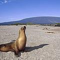 Galapagos Sea Lion Juvenile On Beach by Tui De Roy
