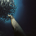 Galapagos Sea Lion Pup Fishing by Tui De Roy