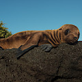 Galapagos Sea Lion Pup (zalophus by Pete Oxford