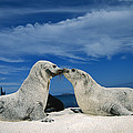 Galapagos Sea Lion Pups Covered In Sand by Tui De Roy