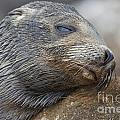 Galapagos Sea Lion Sleeping by Jason O Watson