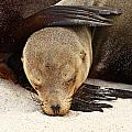Galapagos Sea Lion by Stephanie Brand