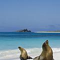 Galapagos Sea Lions On Beach Galapagos by Tui De Roy