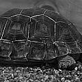 Galapagos Tortoise Baby by Miroslava Jurcik