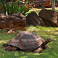 Galapagos Turtle At Honolulu Zoo by Michele Myers