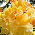 Gallery Fine Art Prints Yellow Orange Rhodies by Baslee Troutman