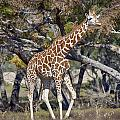 Galloping Giraffe  by Douglas Barnard