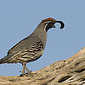 Gambels Quail Male Santa Rita Mts by Tom Vezo
