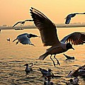 Ganges River Gulls by Amanda Stadther