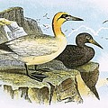 Gannet by English School