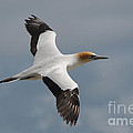 Gannet In Flight by Vivian Christopher