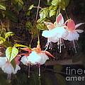 Garden Ballerinas by Lingfai Leung