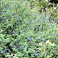 Garden Blues by Maria Urso
