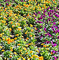Garden Flowers by Aimee L Maher ALM GALLERY