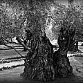 Garden Of Gethsemane Olive Tree by Stephen Stookey