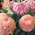 Garden Of Mixed Pink Chrysanthemums by Elaine Plesser