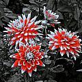 Garden Pom Poms by Tim G Ross