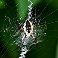 Garden Spider by Larry Jones
