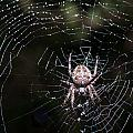 Garden Spider by Matt Malloy