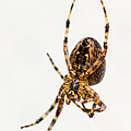 Garden Spider Profile by Tracy Knauer