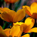 Garden Tulips by Kathy Sampson