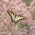 Garden Visitor - Tiger Swallowtail by Kim Hojnacki