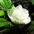 Gardenia 2013 by Joyce Dickens