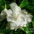 Gardenia In The Rain by Myrna Bradshaw