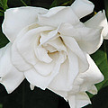 Gardenia by Patricia Blake