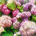 Gardens - Pink And Lavender Hydrangea by Susan Savad