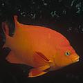 Garibaldi Channel Islands Np California by Flip Nicklin
