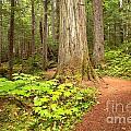 Garibaldi Wilderness Rainforest by Adam Jewell