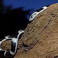 Garter Snake Genus Elapsoidea by Tracey Beer