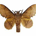 Gastropacha Quercifolia Moth by Science Photo Library