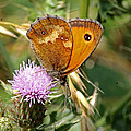 Gatekeeper Butterfly by Tony Murtagh