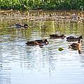 Gathering - Mallars Ducks In Creek Enkopingsaan  by Leif Sohlman