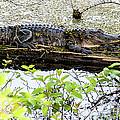 Gator Camoflage by Norman Johnson