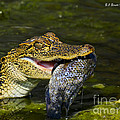Gator Gobbles A Fish by Barbara Bowen