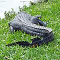 Gator In The Grass by Lizi Beard-Ward