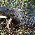 Gator On A Stick by John Wall