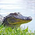 Gator Smile by Lizi Beard-Ward