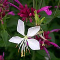 Gaura Lindheimeri Whirling Butterflies With Agastache Ava by Cynthia Wallentine