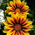 Gazania Named Kiss Yellow Flame by J McCombie