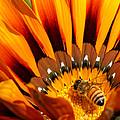 Gazania Pollination by Ernie Echols